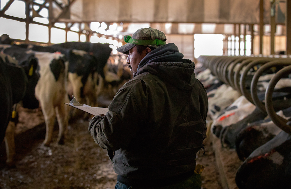 Guillermo Ramos vaccinates dairy cows in the freestall barn of a dairy farm in northern Buffalo County, Wis. on March 8, 2017. The 40-year-old, Mexican-born farm manager has worked on the farm for almost 20 years. His boss, Nora Gilles, says he is integral to the operation of the dairy. Photo byCoburn Dukehart / Wisconsin Center for Investigative Journalism