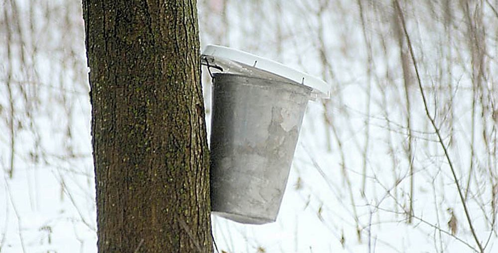 Tapping maple sap. File photo