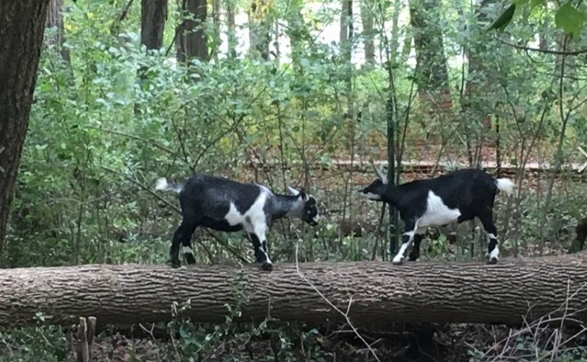 Goats are being used to clear invasive plants at 1000 Islands Environmental Center in Kaukauna.
