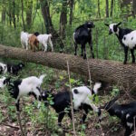 Goats return to dine on invasive plants at 1000 Islands. Here's how you can see them