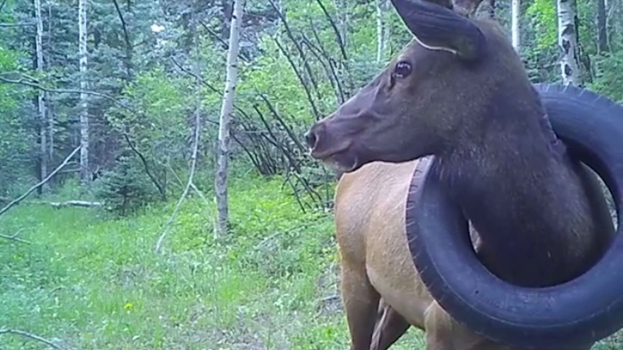 Colorado bull elk with a tire that has been around its neck for two years. Trail camera picture from July 12, 2020 (courtesy of Dan Jaynes near Conifer, Colo.)